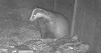 Eurasian Badger taken with an infrared camera on a full badger survey