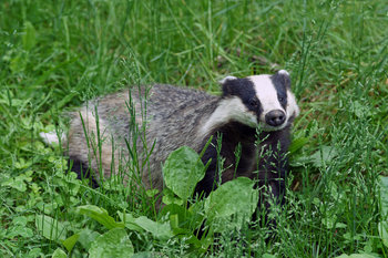 Eurasian Badger by kallerna via Wikimedia Commons