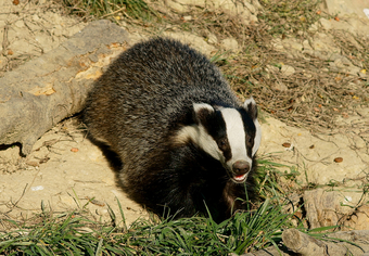 Badger by Peter Trimming via Wikimedia Commons