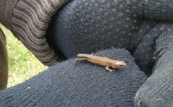 Common Lizard on ecologist's gloved hand