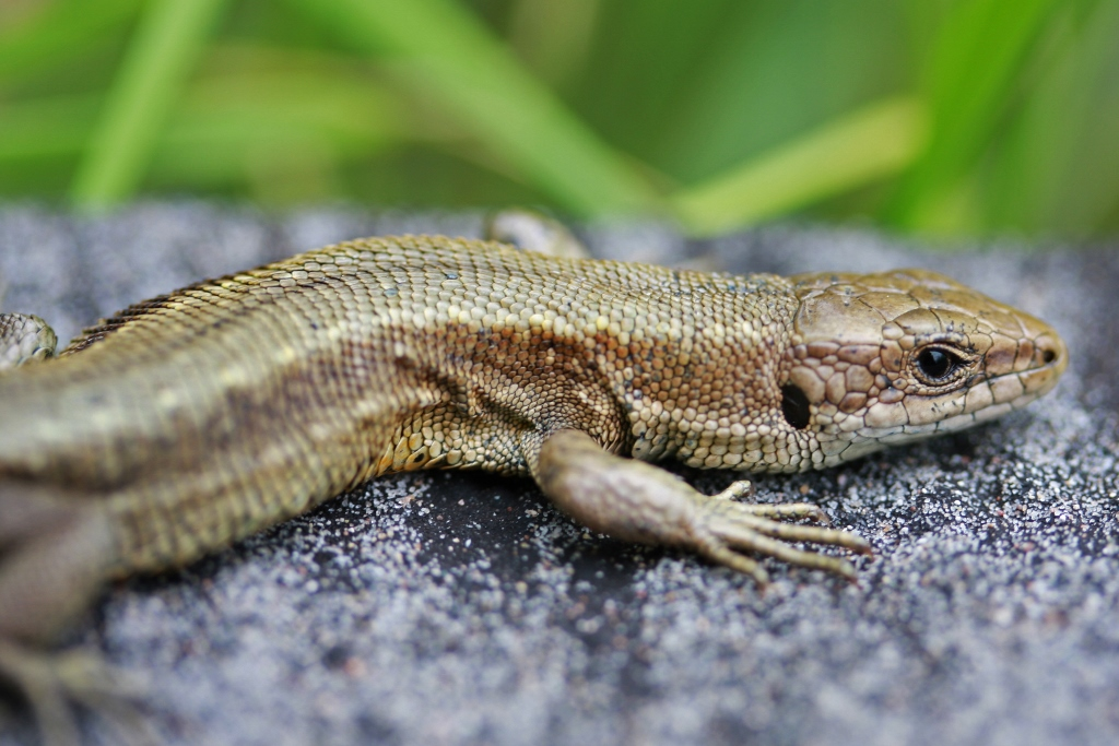 European Common Lizard by Thomas Brown via Wikimedia Commons